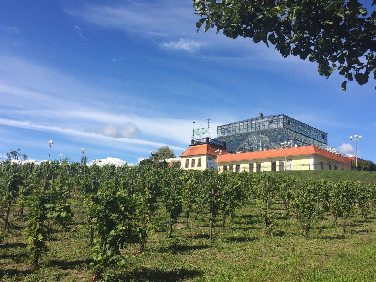 Palmiarnia_Zielonogorska_winnice